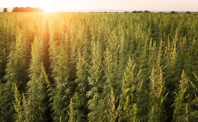 Marijuana field sunset