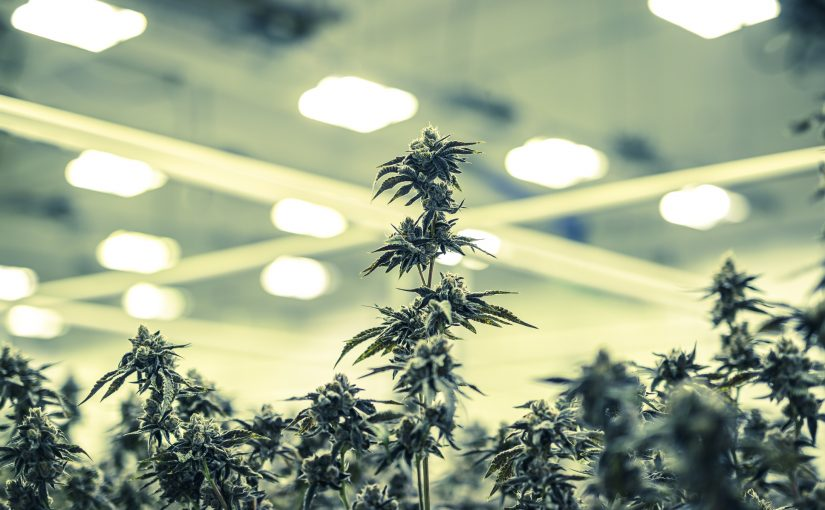 Colorized Marijuana Plant Buds Growing Under Warehouse Lights